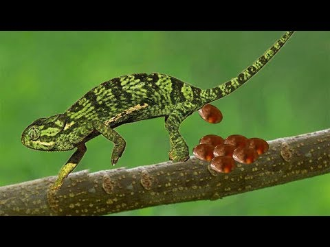 Life Of Chameleon Hunting Lizard And Giving Birth To Many Cute Baby Chameleon