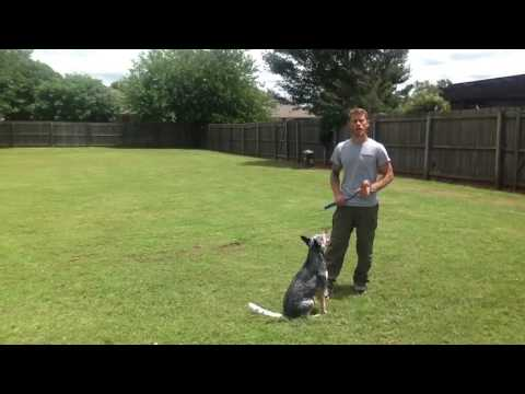 Keeping Your Dog's Focus w/Maggie The Blue Heeler