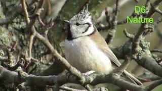 Синиця чубата (UA) Хохлатая синица (RU) European crested tit (UK) Lophophanes cristatus