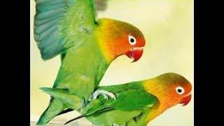 Cara Ternak Burung Lovebird Agar Cepat Kawin