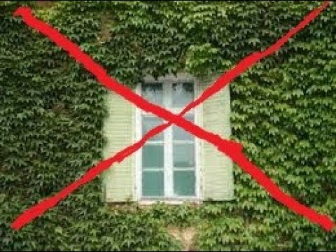 Не пускайте плющ на стены дома,сильно пожалеете!!