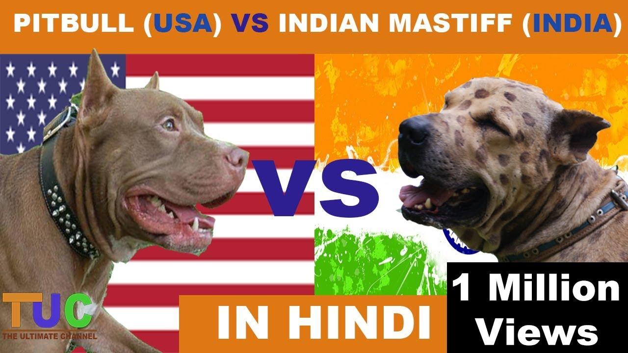 Pitbull Vs Indian Mastiff In Hindi Dog Comparison The