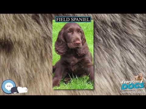 Field Spaniel  Everything Dog Breeds