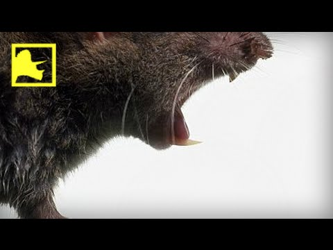 Giant Rat Fossils Unearthed in Timor | Prehistoric News