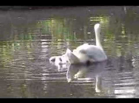 Baby Swans' First Swim in East Hampton (Town Pond)
