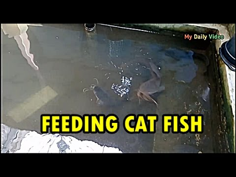 FEEDING CAT FISH WITH TEMPE
