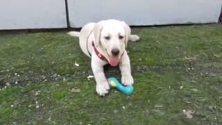 щенок лабрадора 4 месяца Маркушка
