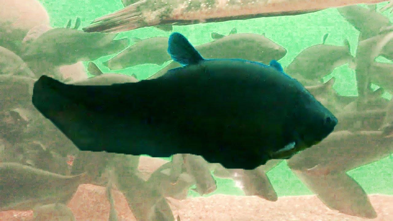 Freshwater aquarium knife fish - Feather Black Or Knife Fishes With Snakehead Fish In Freshwater Aquarium