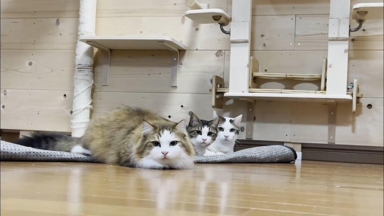 目が回ってヨタヨタになる猫を並んで鑑賞する猫がかわいい