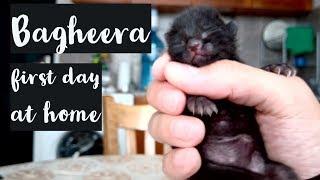 Caring of newborn kitten Bagheera. 1st day at home