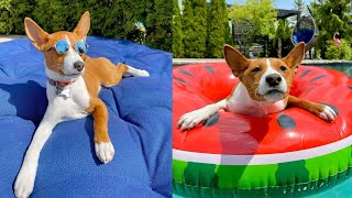 Basenji  Do they make good pets?  [ Pros & Cons, Dog Breed Information ]