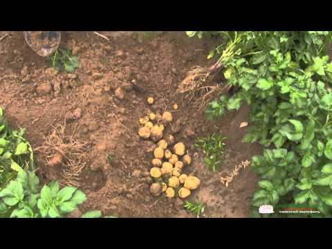 Сорт картофеля Нектар Голландия. День 45-тый