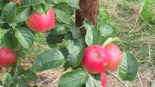 Apfelbaum vermehren - Teil 1