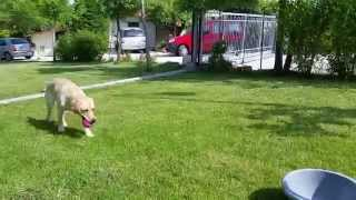 Zoe E Il Cesto - Terra Resta - Clicker Training - 6 Mesi - Labrador Retriever