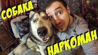 Собаки наркоманы / алкоголизм и наркомания у хаски и маламута
