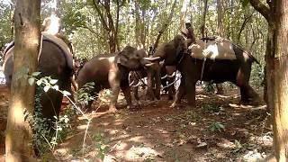 Capturing the wild Asian Elephants