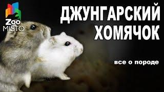 Джунгарский хомяк - Все о виде грызуна | Вид грызуна - Джунгарский хомяк