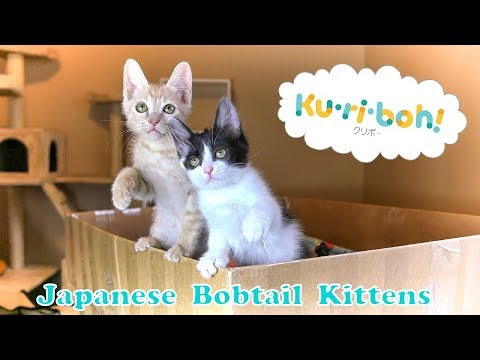 Japanese Bobtail Kittens 4k DIY Cardboard Cat Tree Tower