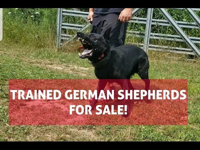 TRAINED BLACK GERMAN SHEPHERD for SALE