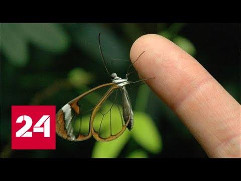 Не фотошоп: бабочки с прозрачными крыльями Россия 24