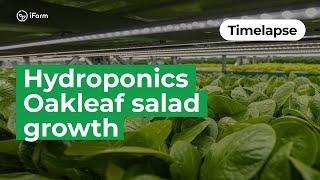 Таймлапс: как в iFarm растут салаты