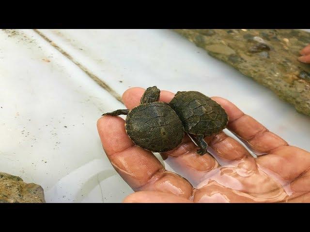 primer día de agua de las tortugas bebé