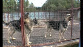 видео Восточноевропейская овчарка \