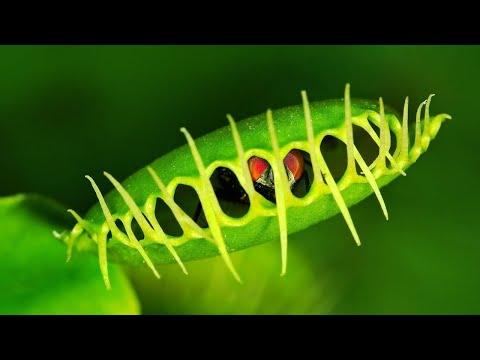 Zobacz Rośliny, Które Zjadają Pająki I Ślimaki