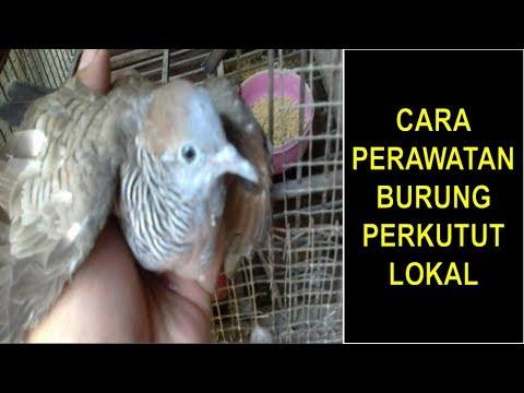 Terbongkar Rahasia Cara Merawat Burung Perkutut Lokal Mudah Dan Tidak Ribet Youtube