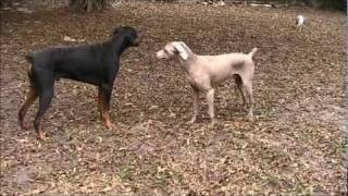 Darwin And Rascal Play Time Good Boys 011711.wmv
