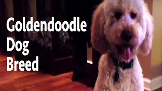 Goldendoodle Dog Breed