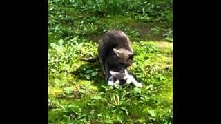 Размножения кошек  1\2