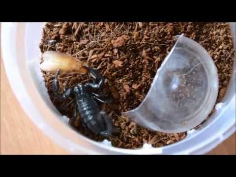 Яд скорпиона лечит рак? -