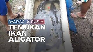 Mencari Ikan saat Banjir di Jatiasih, Warga Temukan Ikan Aligator