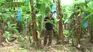 Where do bananas come from? See how they are grown and harvested for Riverford.