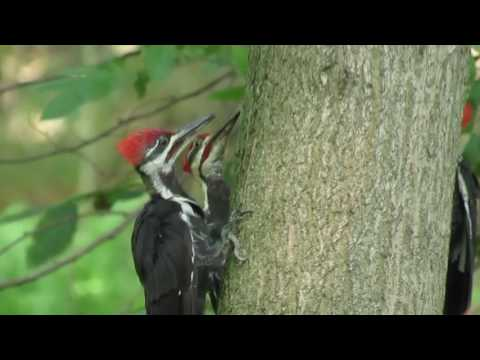 Three Pileated Woodpeckers
