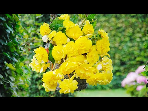 How To Plant Cascading Begonias Hanging Basket Guide Youtube