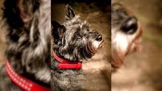 Cairn terrier. Pros y contras, precio, Cómo elegir, hechos, cuidado, historia