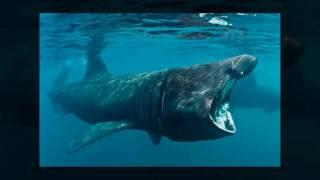 видео Пелагическая большеротая акула