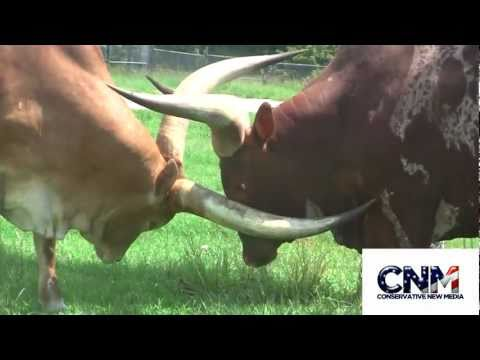 Thumbnail: Two Ankole-Watusi Bulls Sparring with their MASSIVE HORNS in 1080P HD !