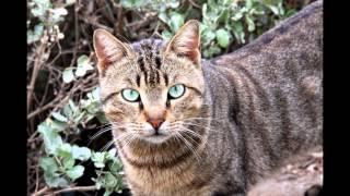 Дракон Ли, или Ли Хуа, или Ли Мао (Dragon Li cat) породы кошек( Slide show)!