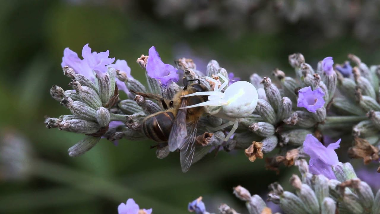 Crab spider preying bumble bee garden spiders spiders flower spiders - Crab Spider Catching Bee