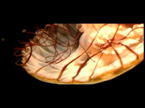 Invertebrates Jellyfish | Biology