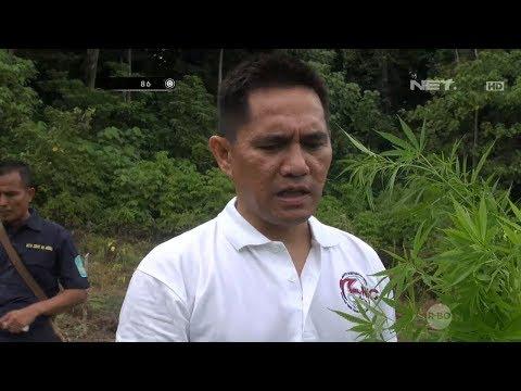 Mewujudkan Indonesia yang Bersih dari Peredaran Gelap Narkoba, Ladang Ganja di Aceh Dimusnahkan