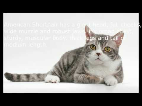 American wirehair  Interesting Fact