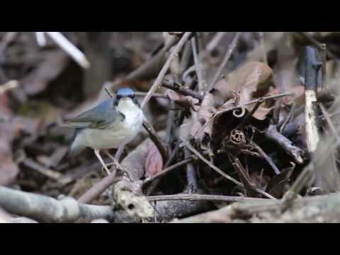 Siberian Blue Robin,Male ( 藍歌鴝 ) Singapore