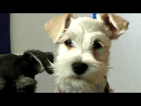 Dog Grooming What Does A Puppy Cut Look Like Youtube