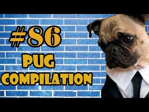 2018 NEW ! Pug Compilation 86 - Funny Dogs but only Pug Videos | Instapugs