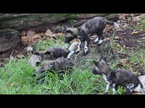 Perth Zoo's African Painted Dog Puppies