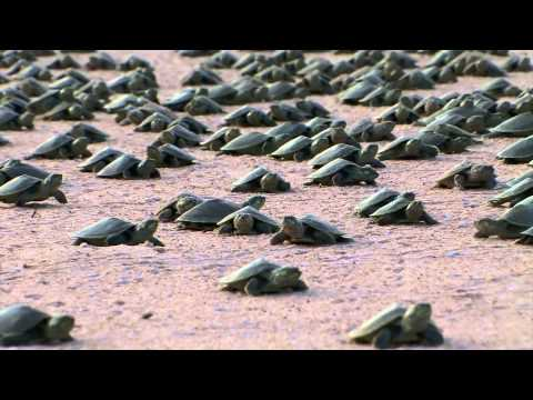 Massive release of river turtles in Bolivia -- Part 4/4: Playa Tatarugita